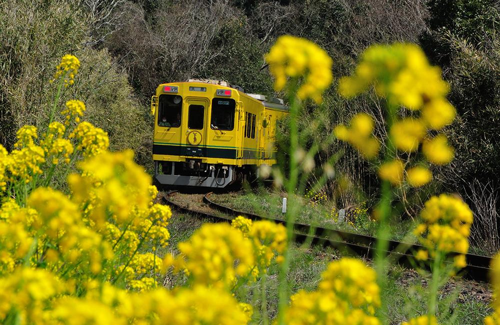 ローカル線沿線の美しい菜の花畑
